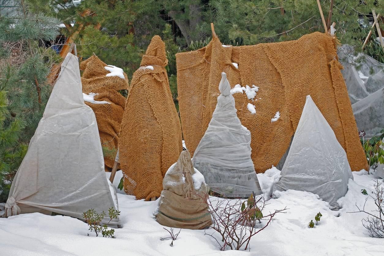 北方月季如何安全过冬?