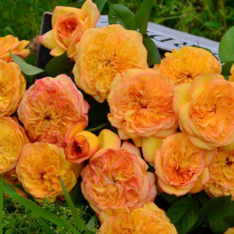 月季花——橘子酱