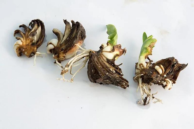 朱顶红鳞茎切割繁殖方法