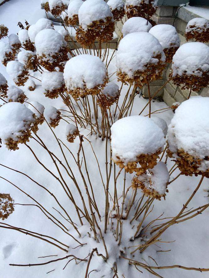 绣球冬季养护需要注意哪些?