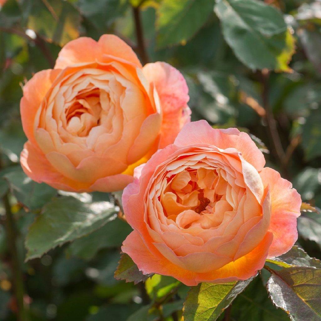 月季花——艾玛汉密尔顿夫人