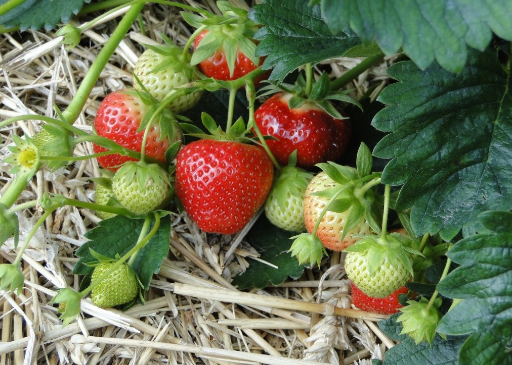 草莓种植注意事项
