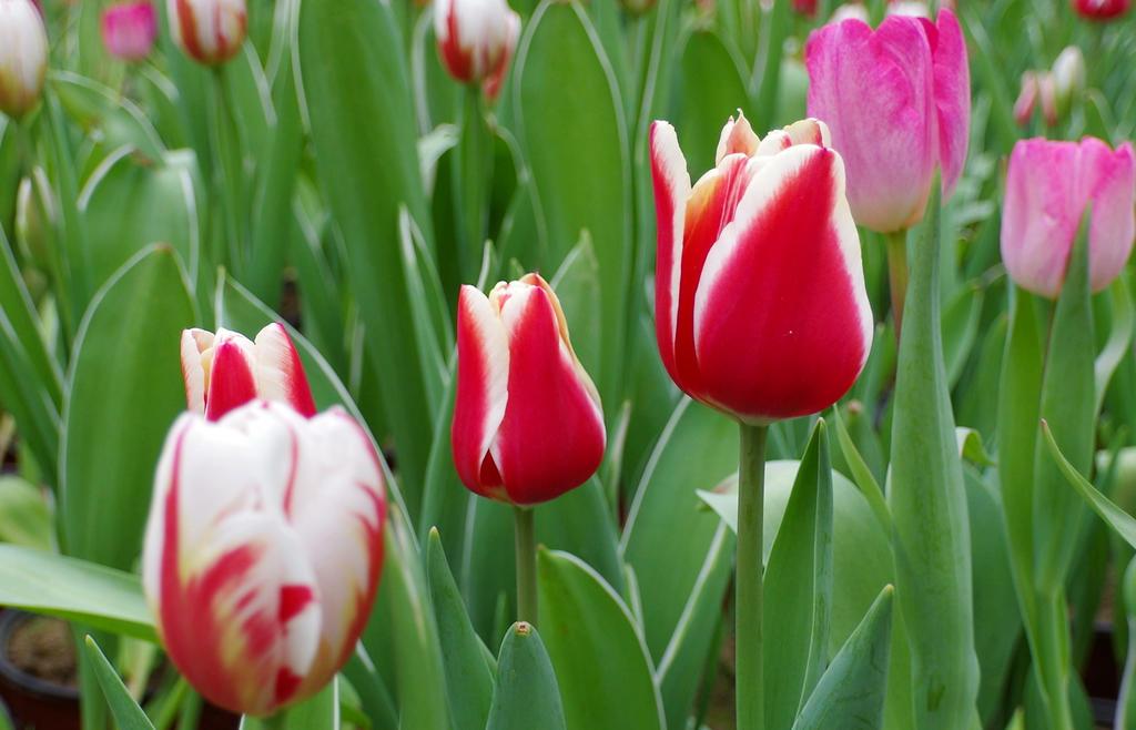 郁金香不同颜色及花语
