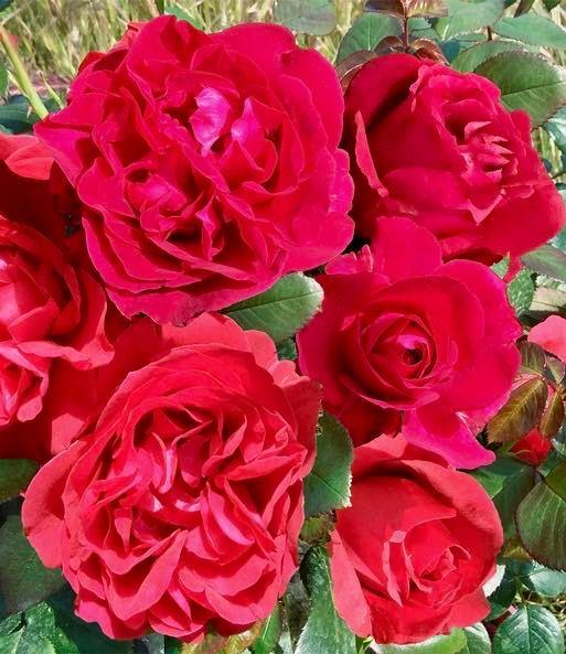 月季花——伏旧园之花