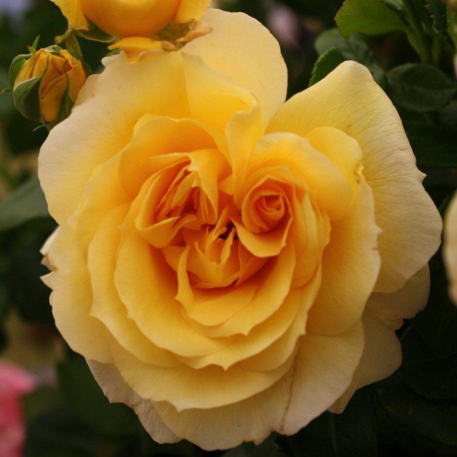 月季花——泰戈米斯特