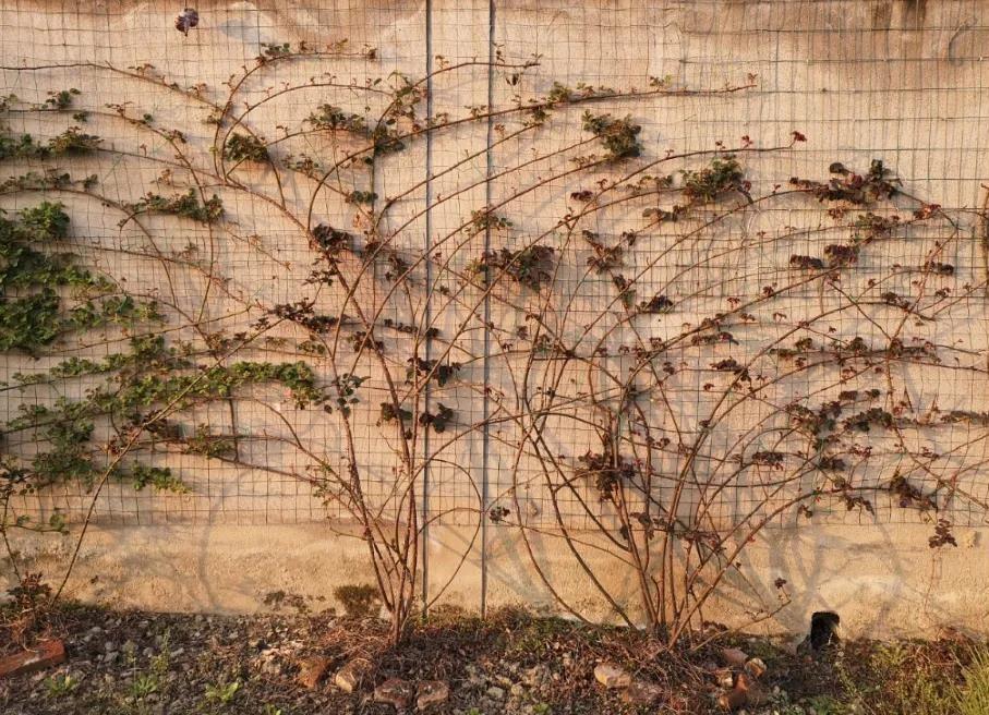藤本月季牵引时防折枝技巧与折枝后的补救方法