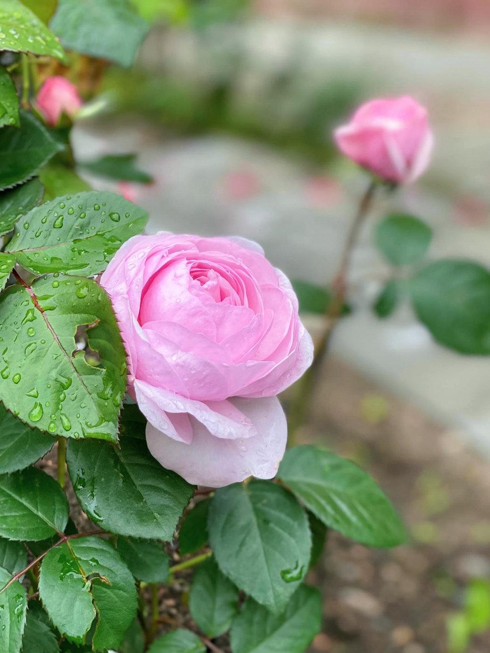 月季花——奥利维亚