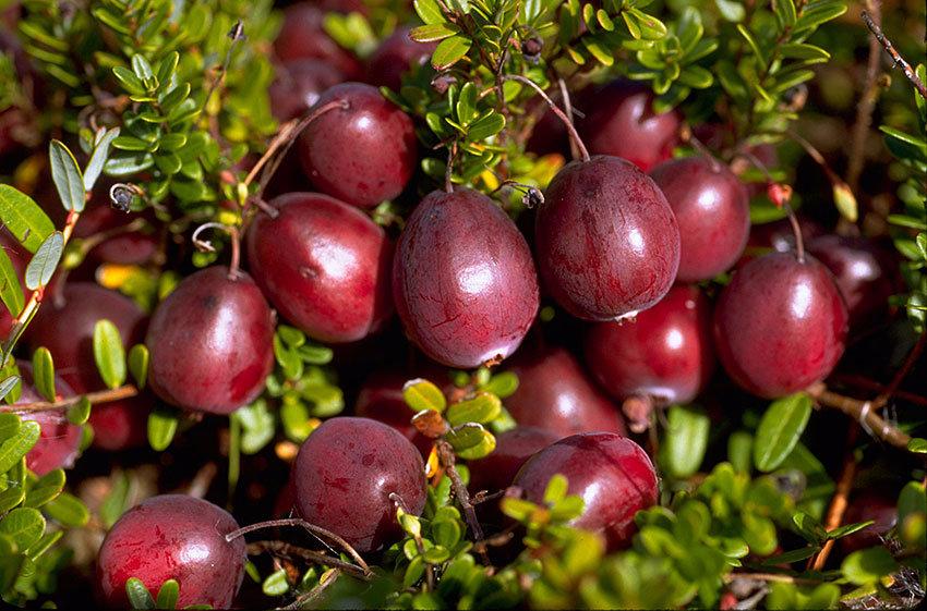 蔓越莓养护要点
