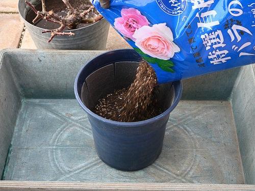 冬天如何给月季盆栽进行换盆?