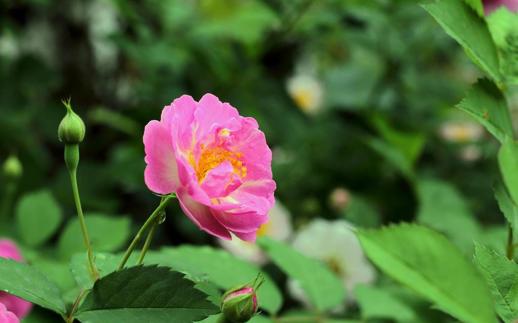 蔷薇花的花语以及它美丽的传说