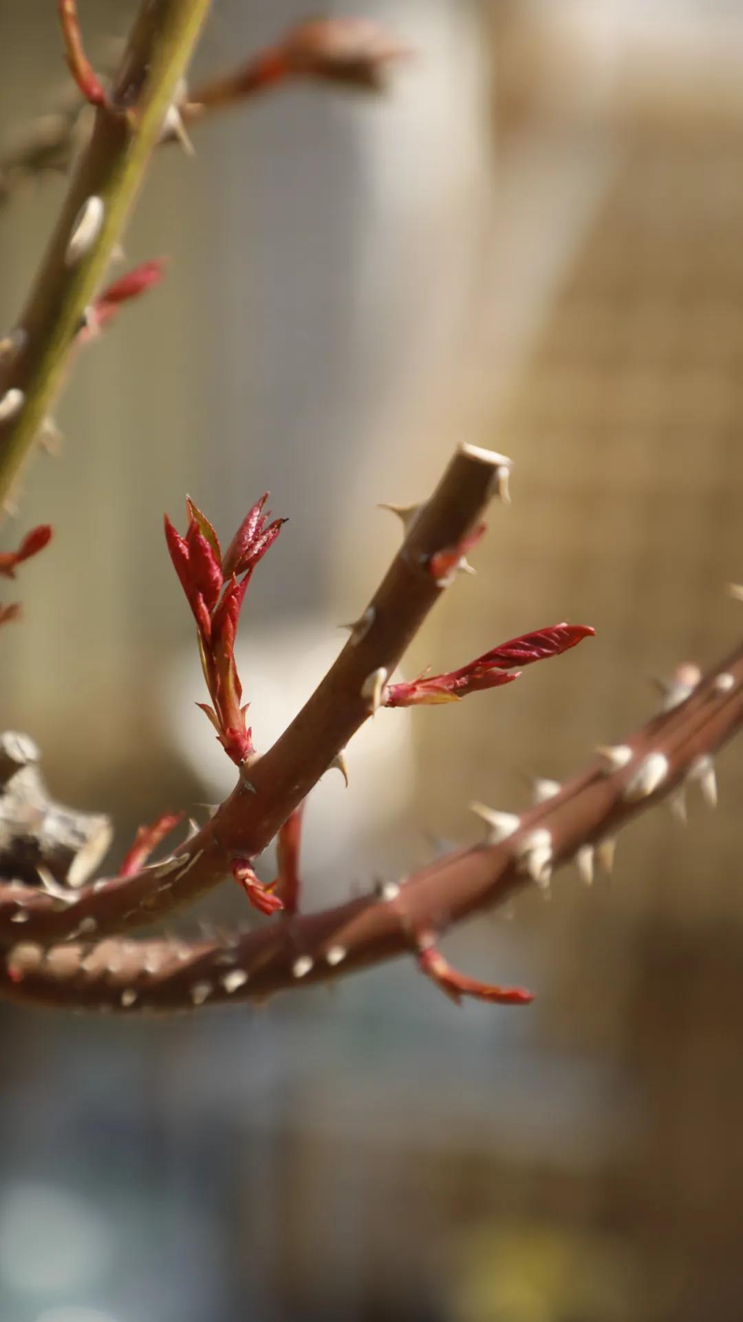 春季月季抹芽详细指南