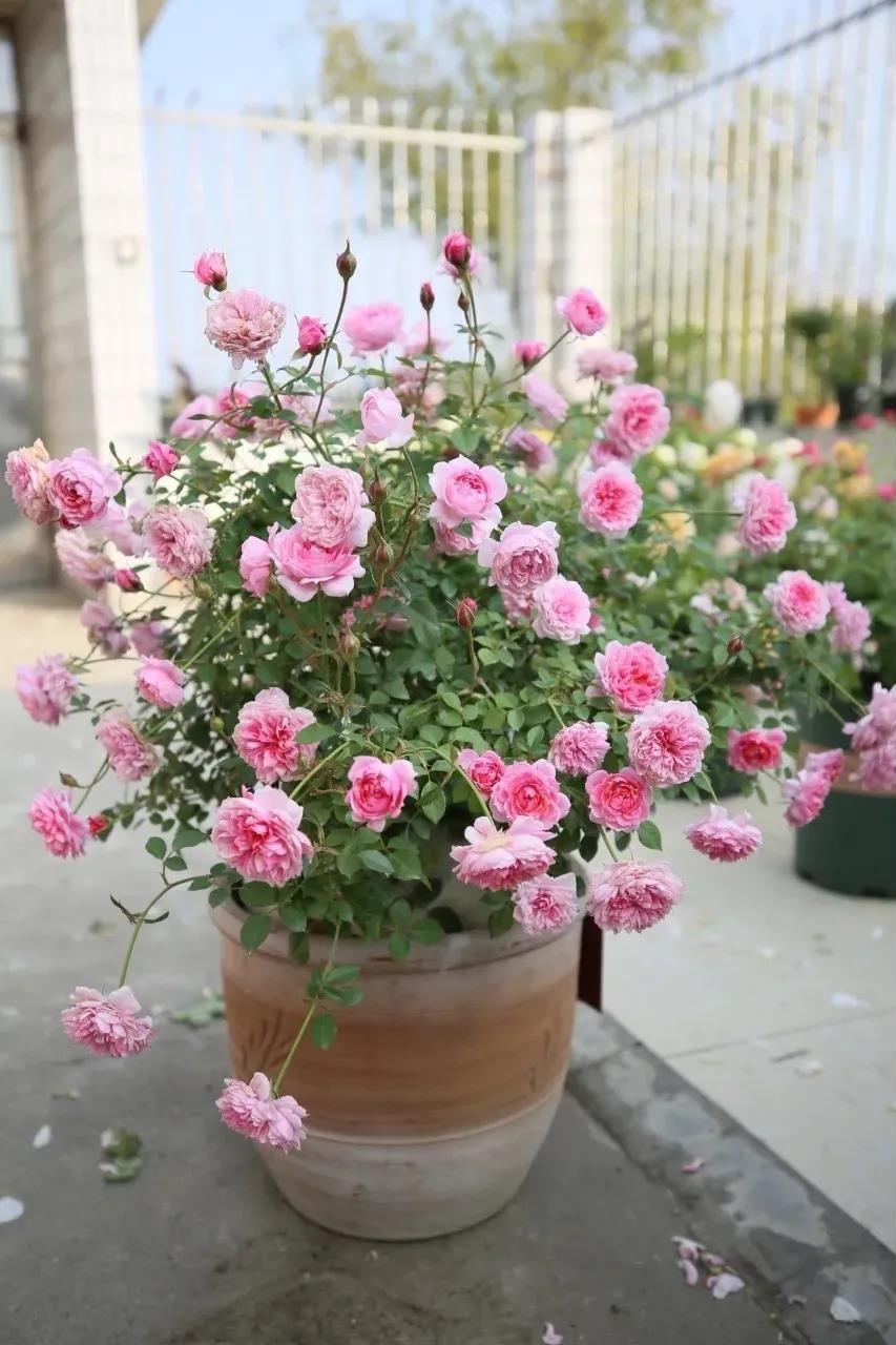 无需抹芽就能轻松爆花的5款月季