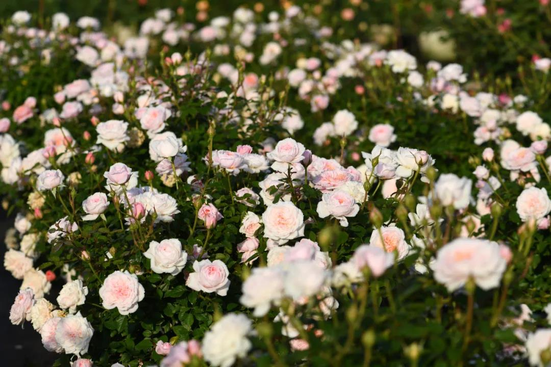 月季花——仙路