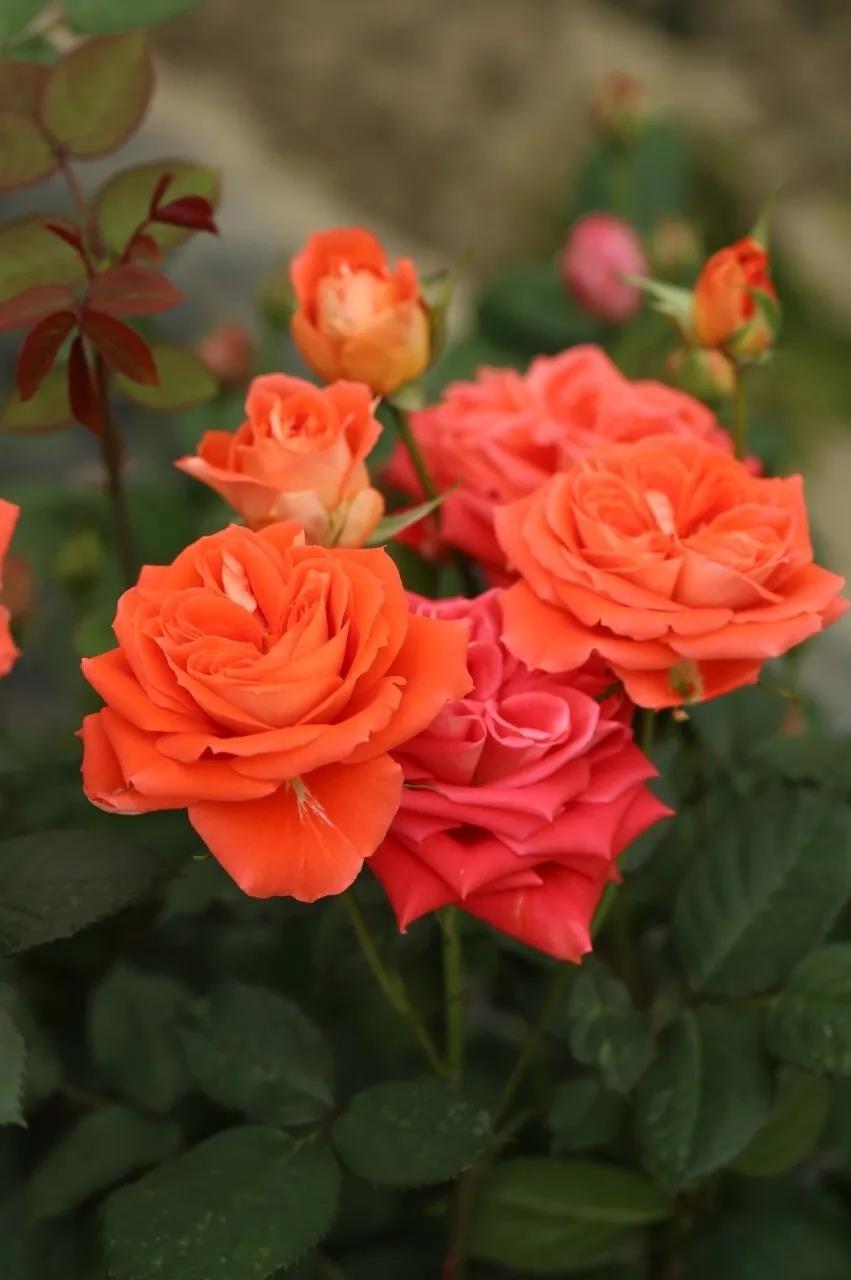月季花——橘洲