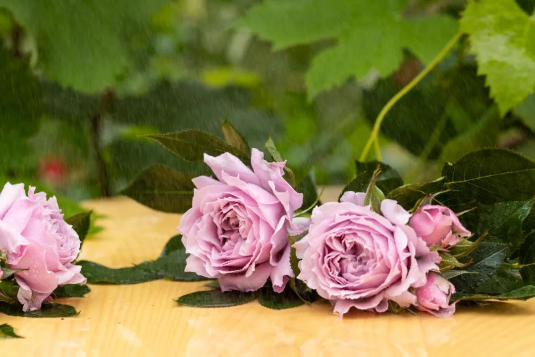 月季花——幻紫