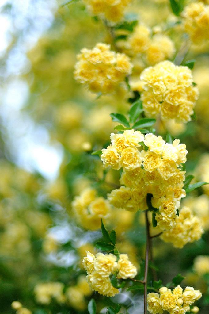 黄木香开花图片