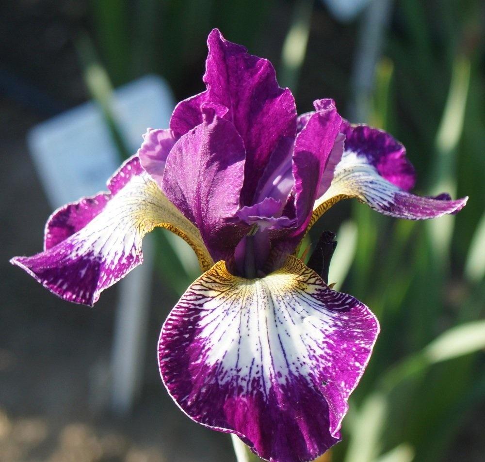 西伯利亚鸢尾开花图片