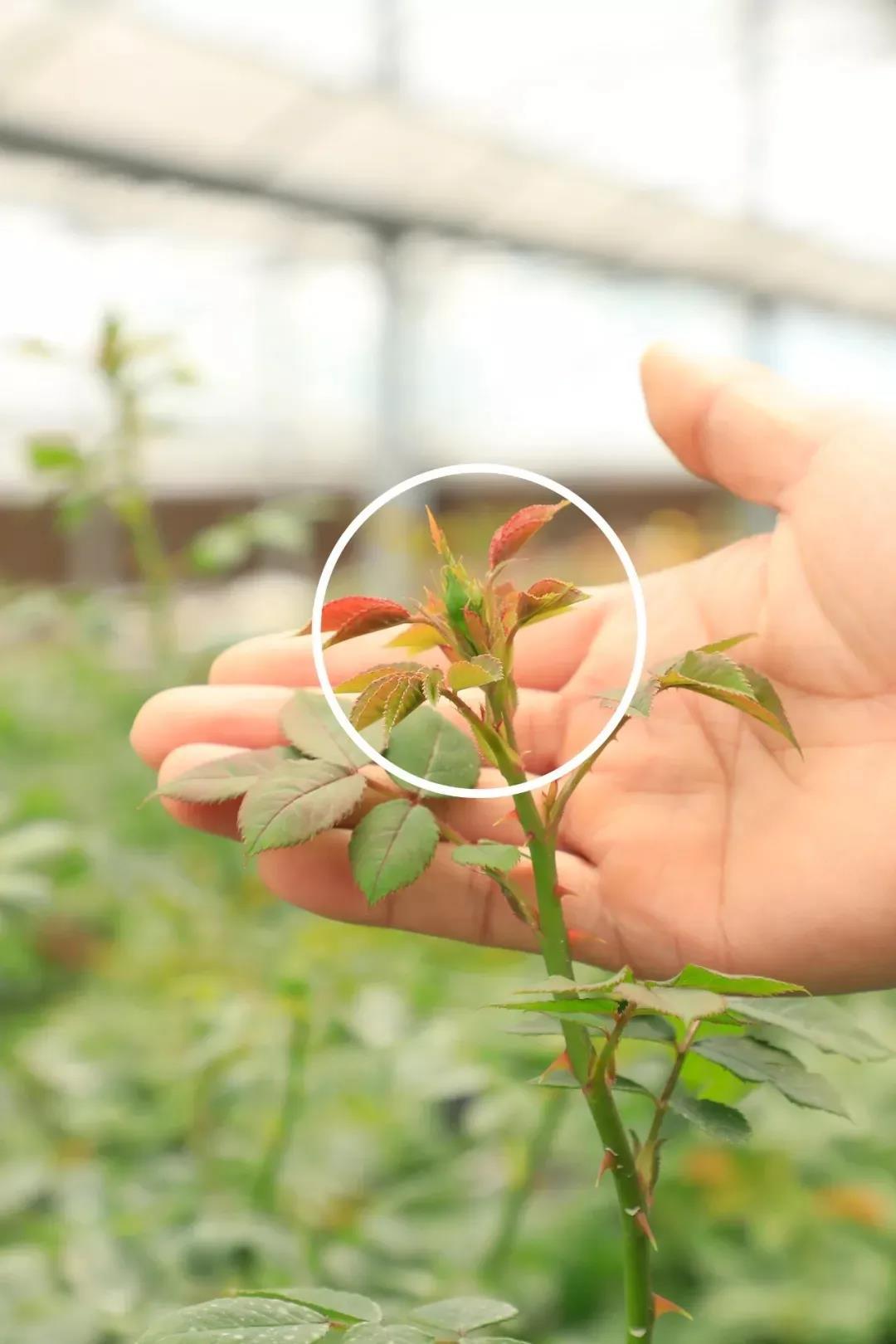 月季盲芽不开花怎么办?