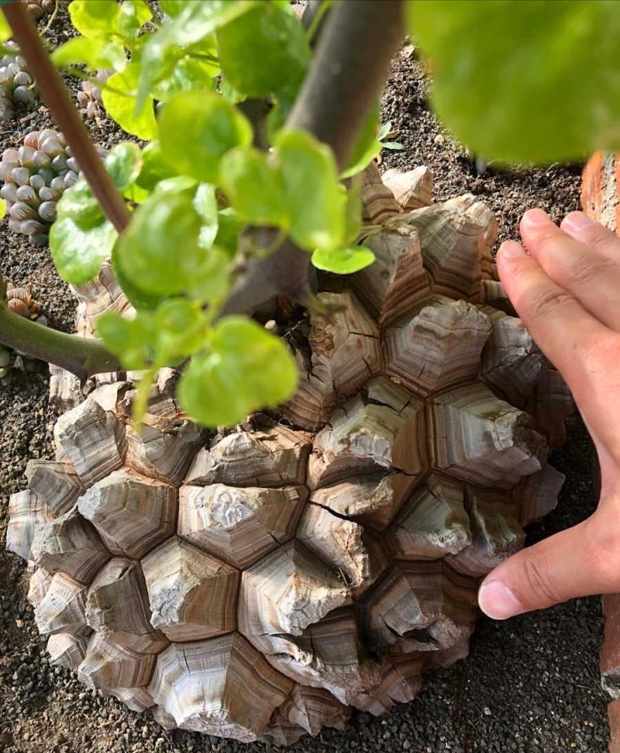 龟甲龙图片