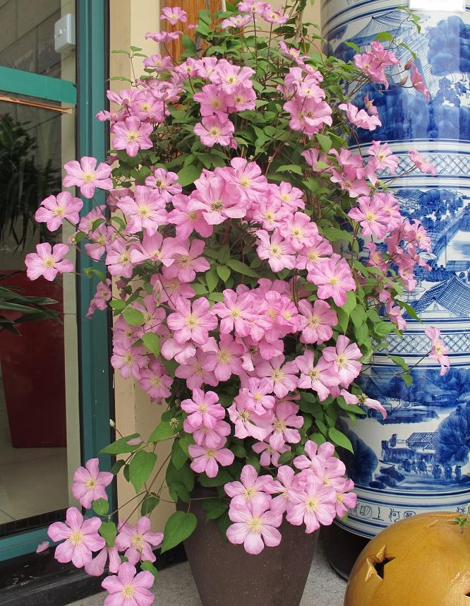 铁线莲不开花、花量少是什么原因?