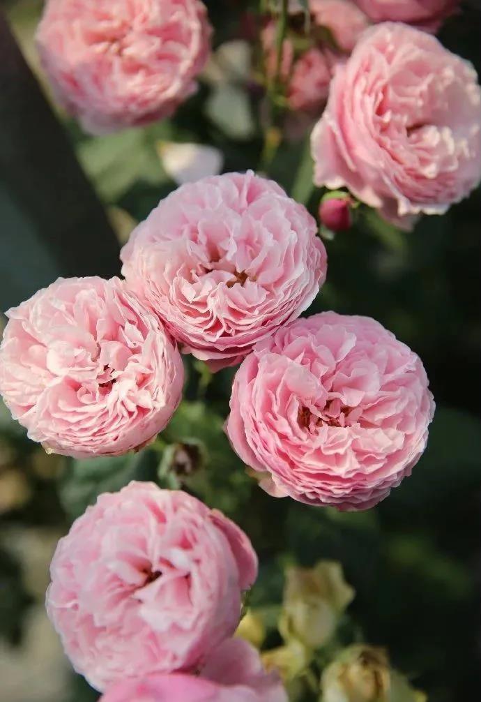 适合做切花的月季品种有哪些?