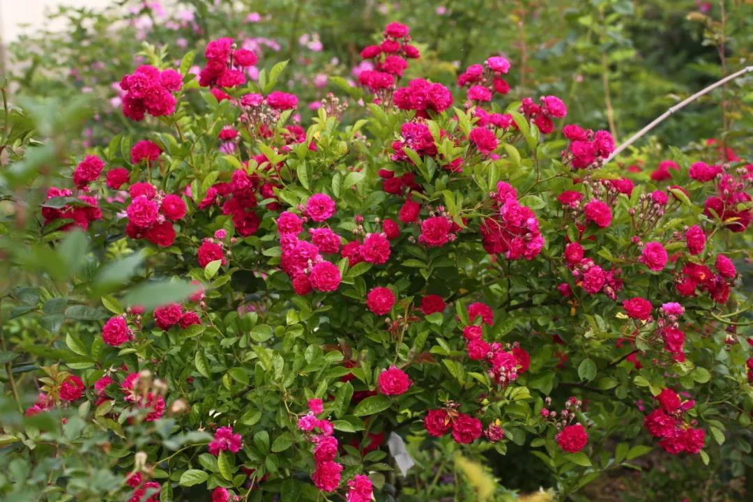 月季、蔷薇到底怎么区别?