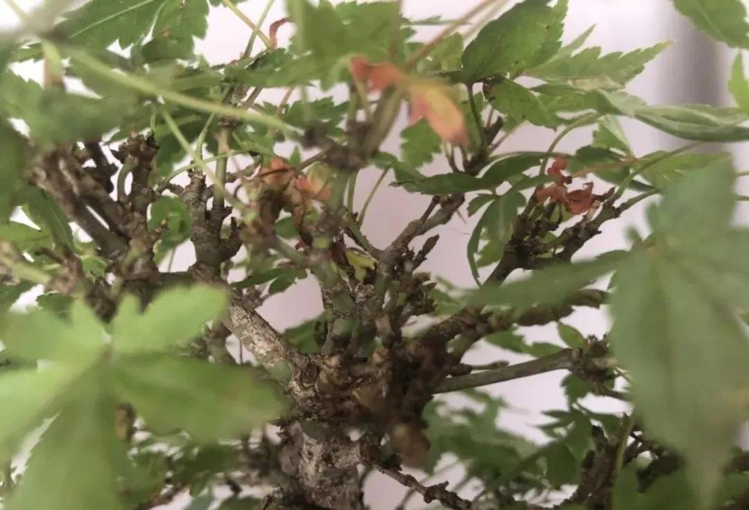 枫树焦叶的原因及正确的养护操作