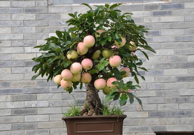 夏季盆栽果树如何修根换盆?