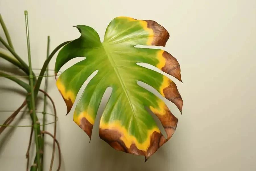热带绿植怎么养不焦叶、不黄叶?