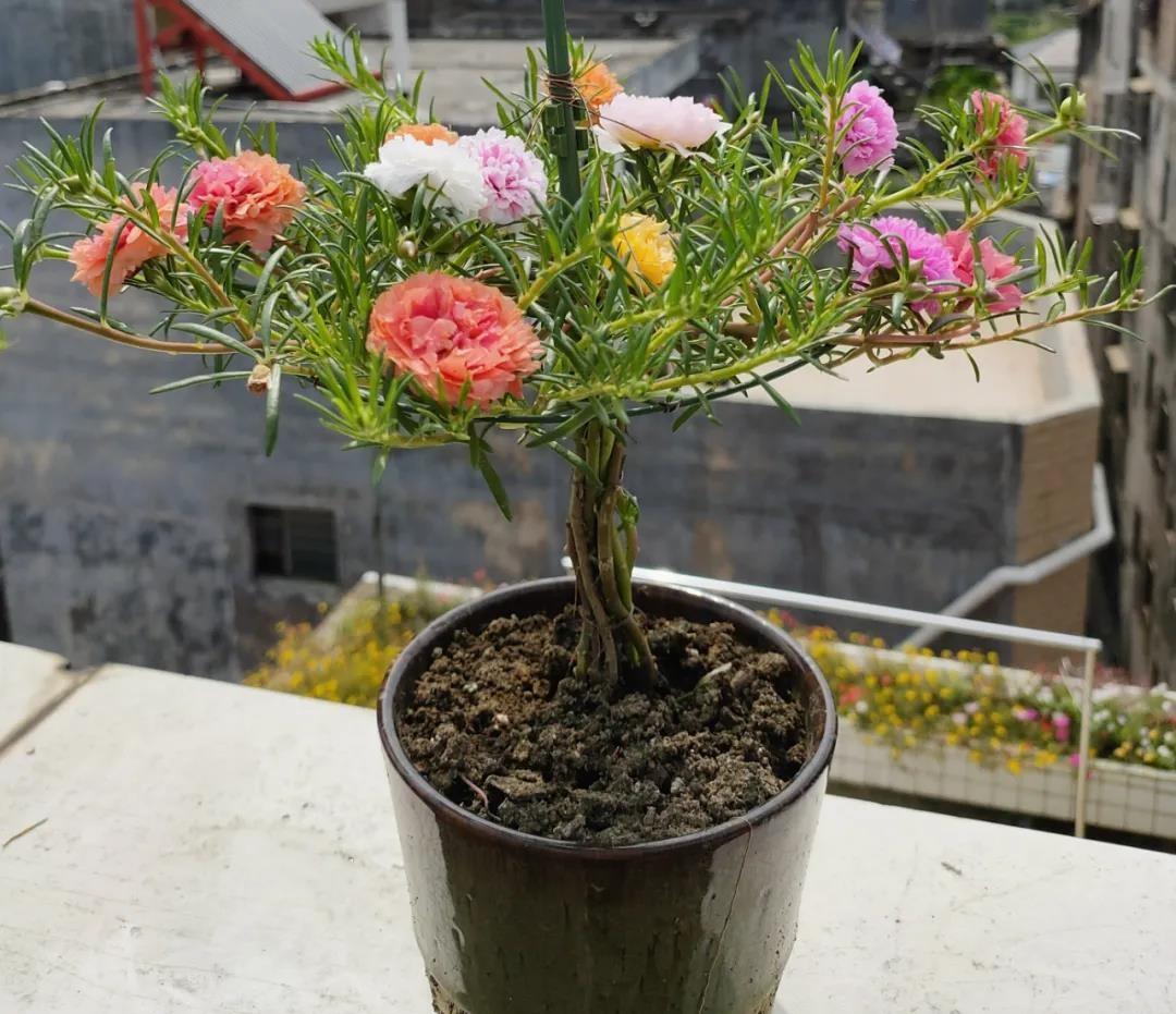 超简单的太阳花扦插、爆盆打造教程