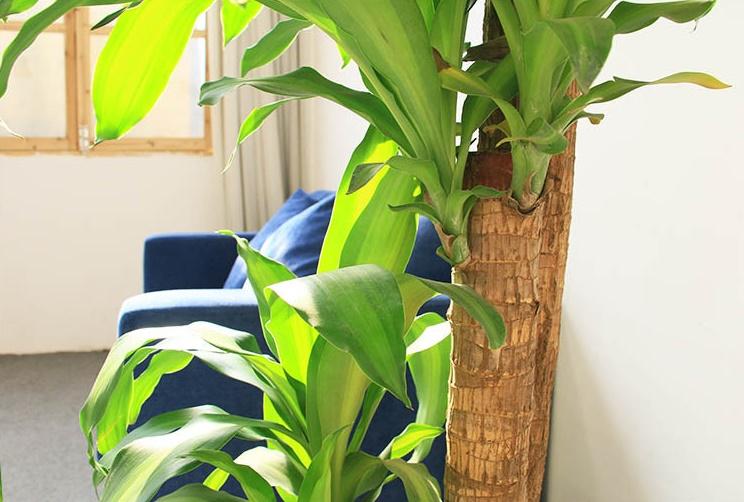 巴西木的养殖方法和注意事项