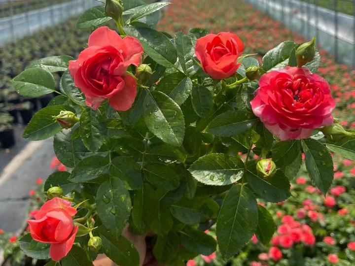 月季花移栽缓苗需要多久?
