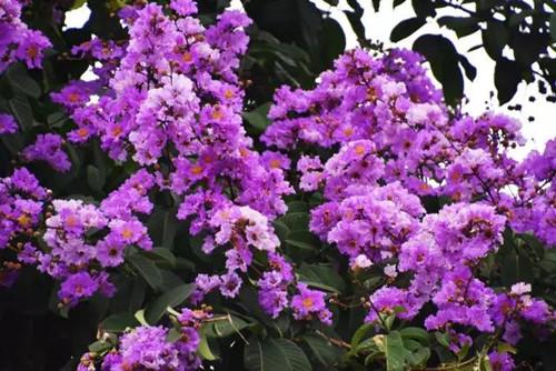 紫薇花的扦插繁殖方法