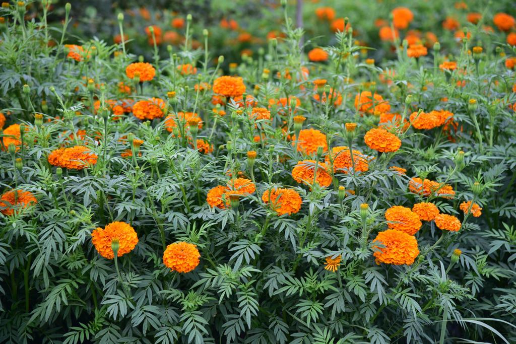 万寿菊的养殖方法和注意事项
