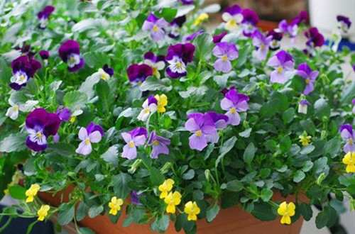 角堇一年可以开几次花?角堇花后怎么养护?