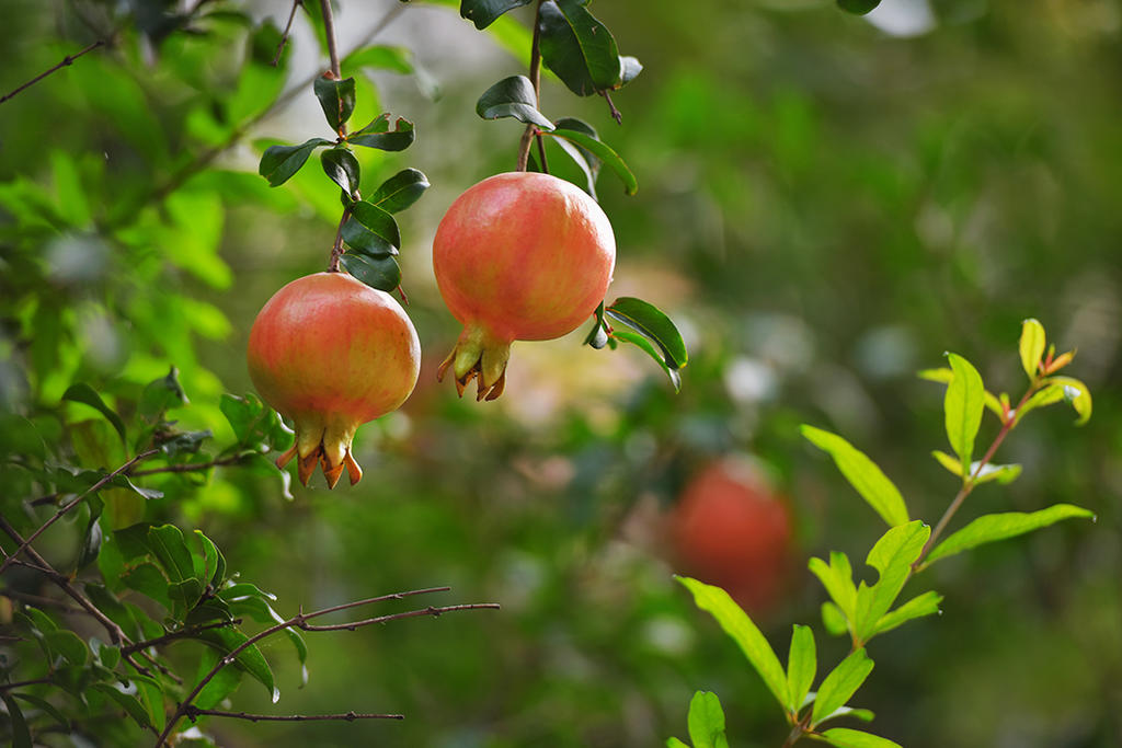 石榴树栽种几年后才能开花结果?