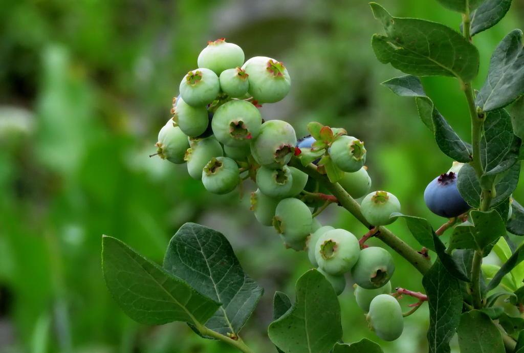 蓝莓树种植几年后可以结果?挂果后怎么养护?