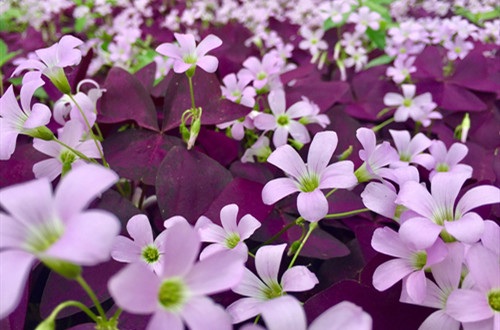 紫叶酢浆草叶子枯萎是什么原因?