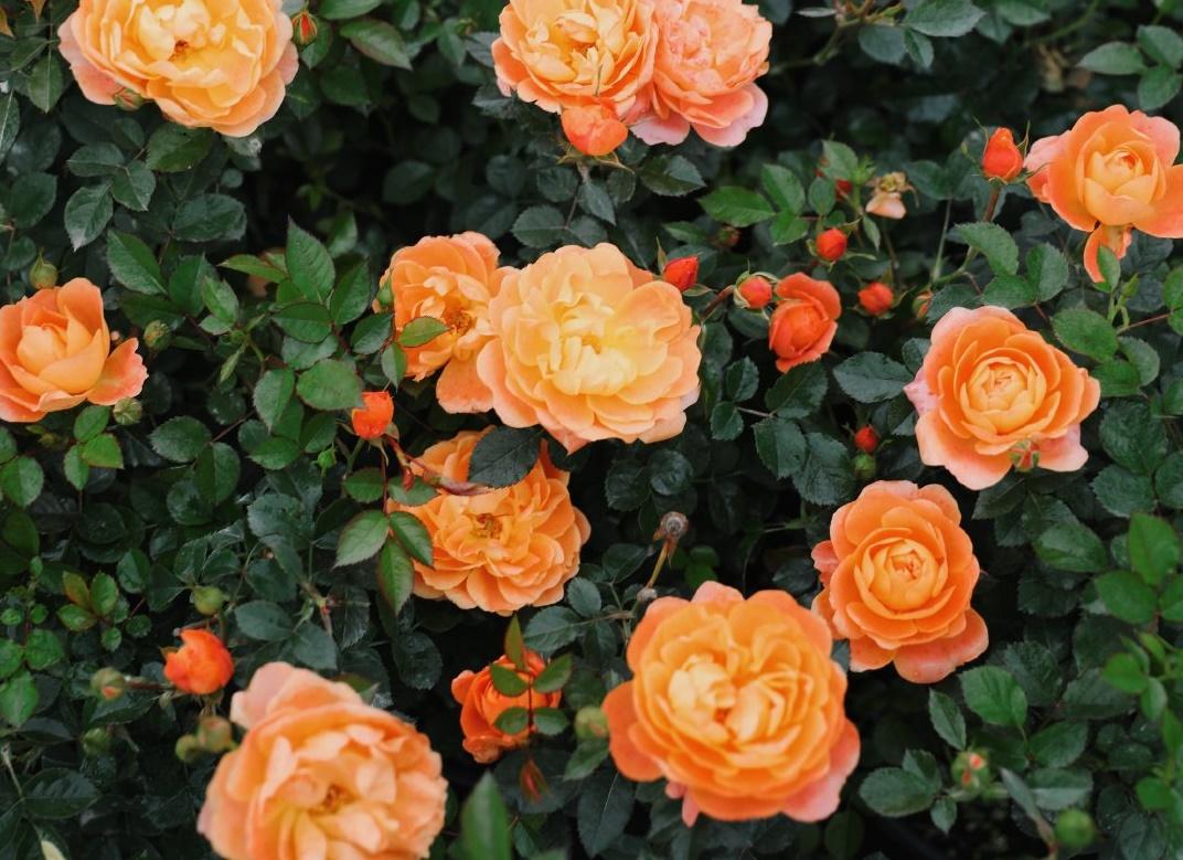 黄色、橙黄色爆花月季有哪些品种?