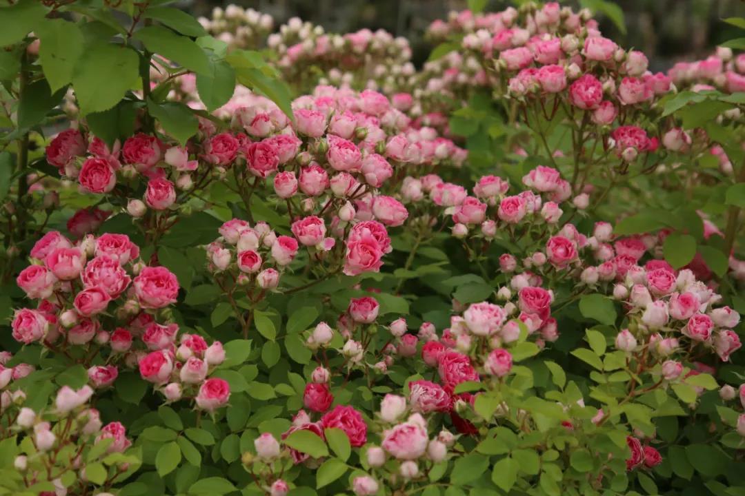 种植月季花用什么土好?