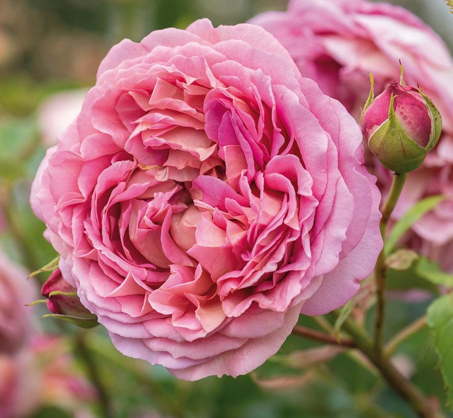 粉色月季品种推荐