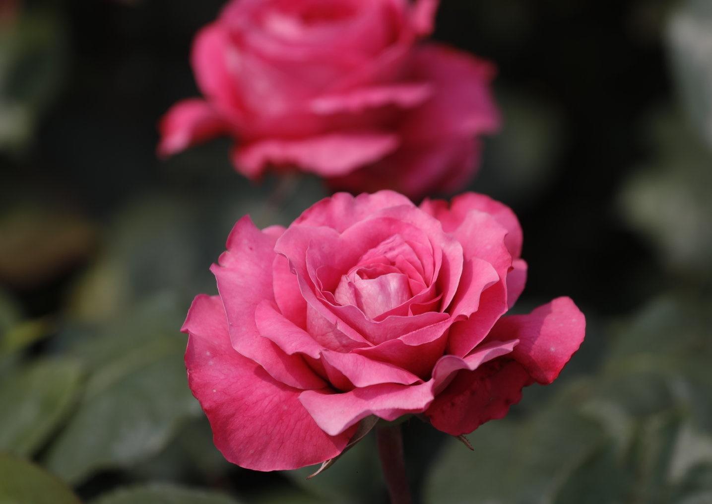 月季图片——薰兰胭脂