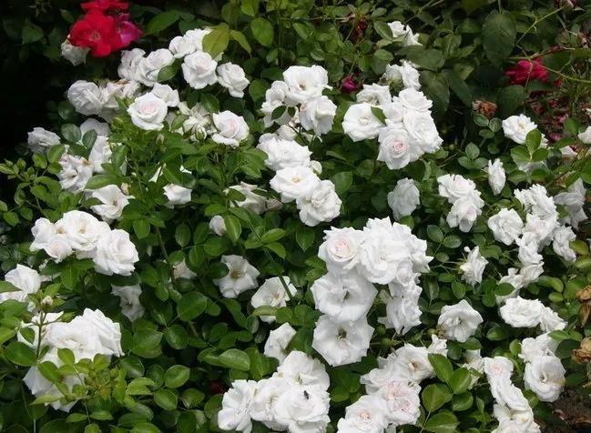 哪些月季品种好养又好看?16个高抗月季品种推荐